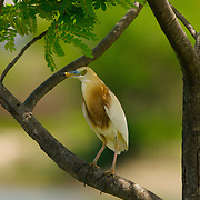 Javan Pond Heron Ardeola speciosa speciosa  - Adult in breeding plumage
