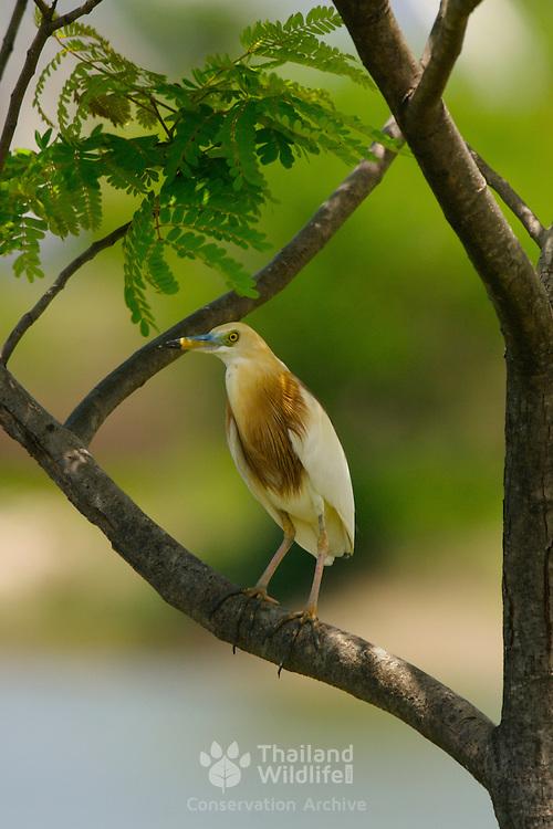 Javan Pond Heron Ardeola speciosa speciosa  - Adult in breeding plumage