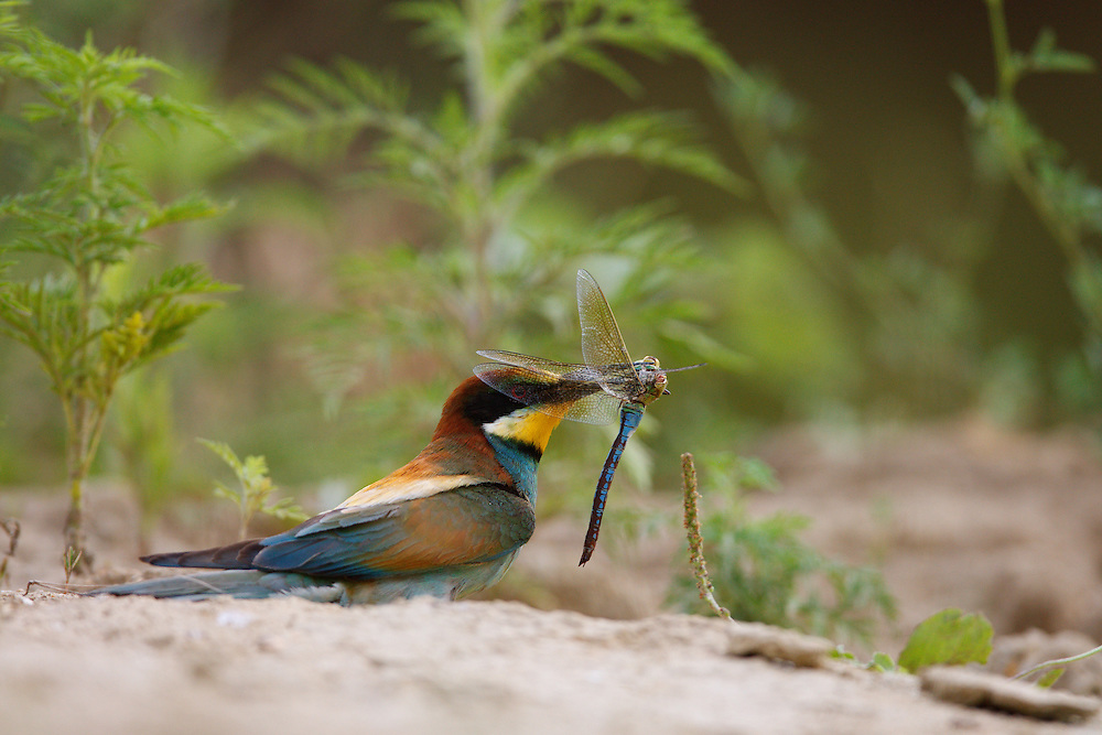 Bee-eater with prey, Bagerova Steppe, Kerch Peninsula, Crimea, Ukraine