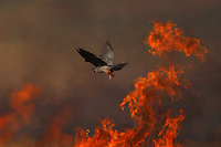 Male Red-footed Falcon hunting over burning steppe fields, Bagerova Steppe, Kerch Peninsula, Crimea, Ukraine
