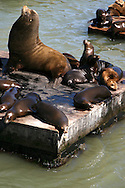 "The California Sea Lion of the northern Pacific Ocean. Their numbers are abundant and the population continues to expand at a rate of approximately 5.0% annually. They are  intelligent, can adapt to man made environments, and even adult males can be easily trained. Because of this, California sea lions are commonly used for entertainment in circuses, zoos and marine parks and are sometimes used by the US Navy for certain military operations. This is the classic circus ""seal"" despite the fact that it is not a true seal."