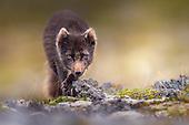 Arctic fox 1