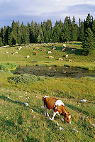 2002, Near Geneva, Switzerland --- dairy cows in a bucolic field in the hills --- Image by © Owen Franken/CORBIS