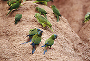 Blue-headed Macaws & Parrots on Clay Lick<br />