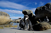 Black footed penguins /Jackass {Spheniscus demersus}, Boulders Beach, Simons Town, South Africa