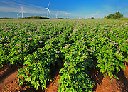 Potato field, red soil and wind turbines<br /> West Cape<br /> Prince Edward Island <br /> Canada