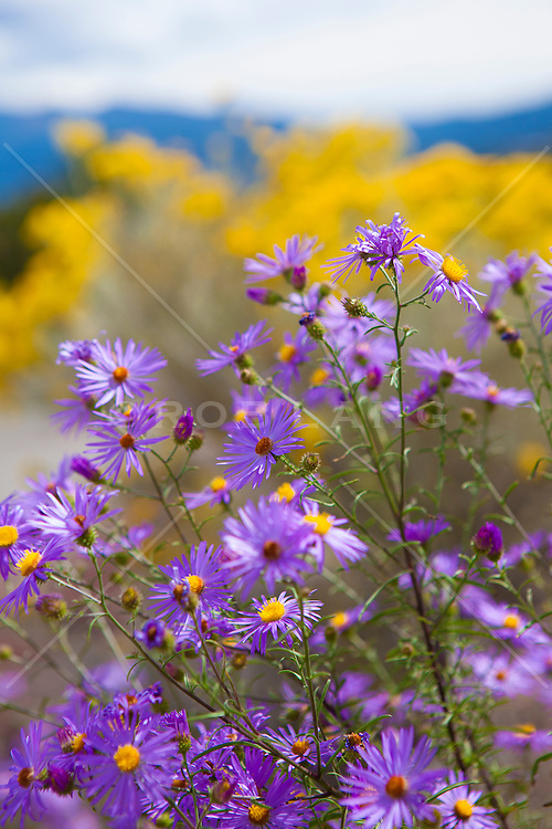 colorful purple flowers in New Mexico