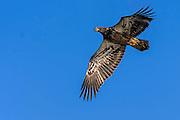 Second year Bald Eagle - Haliaetus leucophalus in flight