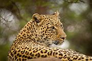 An African Leopard (Panthera pardus) at the Chipangali Wildlife Orphanage in Bulawayo, Zimbabwe. © Michael Durham / www.DurmPhoto.com.