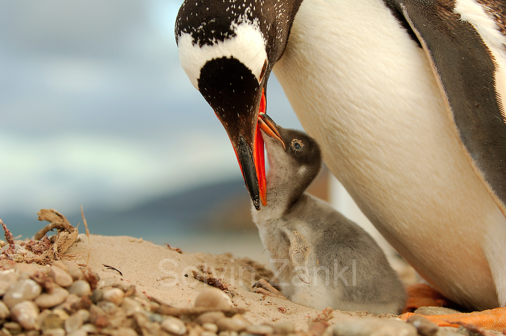 Dieses Eselspinguin Küken(Pygoscelis papua) ist nur wenige Tage alt und hat auf der Schnabelspitze noch den Eizahn. | This Gentoo Penguin chick (Pygoscelis papua) is only a few days old and the egg tooth on the tip of the beak is still present.