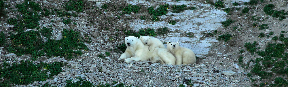 Polar bear ( ursus maritimus ) come to Akpatok Island, to feed on the thousands of thicked billed murres that nest on the area. Baffin Bay.  Baffin Island. High Arctic. Canada<br /> .