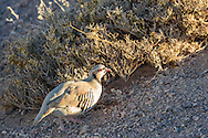 A chukar bird is lit up by the early morning sunlight in Death Valley National Park near Dante's View.