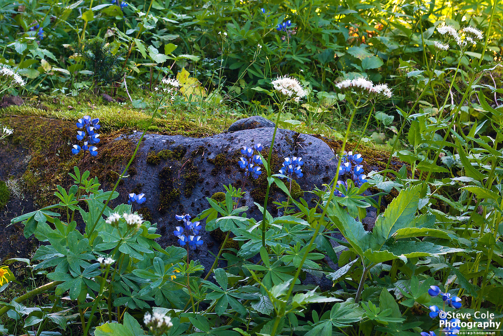 Heliotrope Ridge Wildflowers - Mount Baker Wilderness
