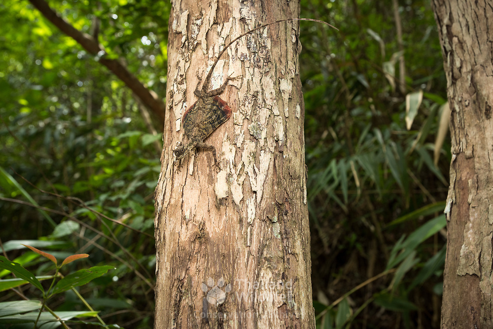 Barred Gliding Lizard (Draco taeniopterus) in Kaeng Krachan national park, Thailand