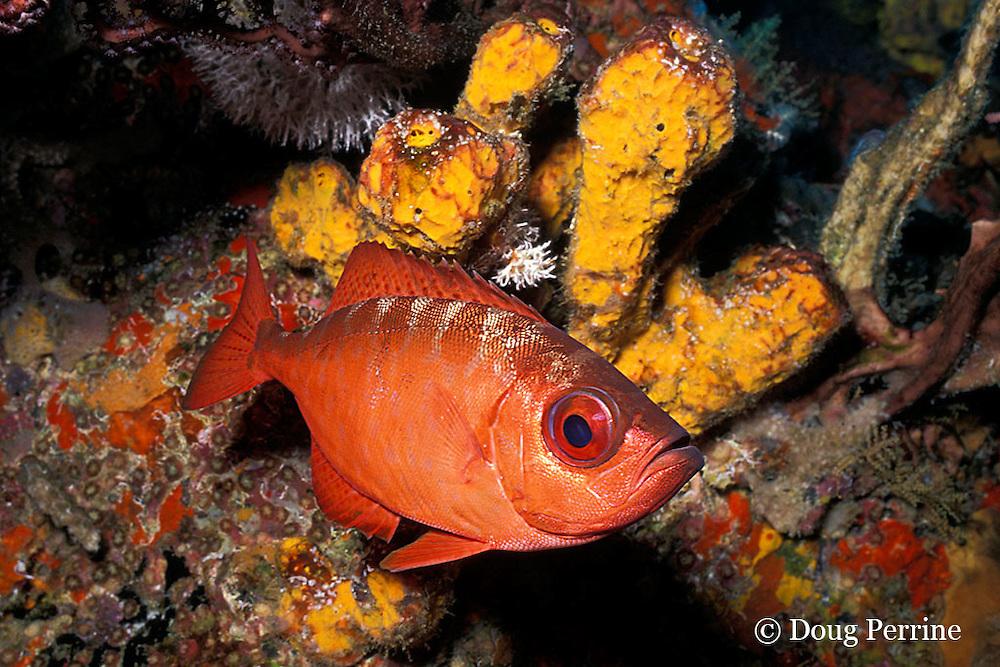 bigeye or glasseye snapper, Heteropriacanthus cruentatus, New Guinea Reef, St. Vincent, West Indies ( Caribbean Sea )
