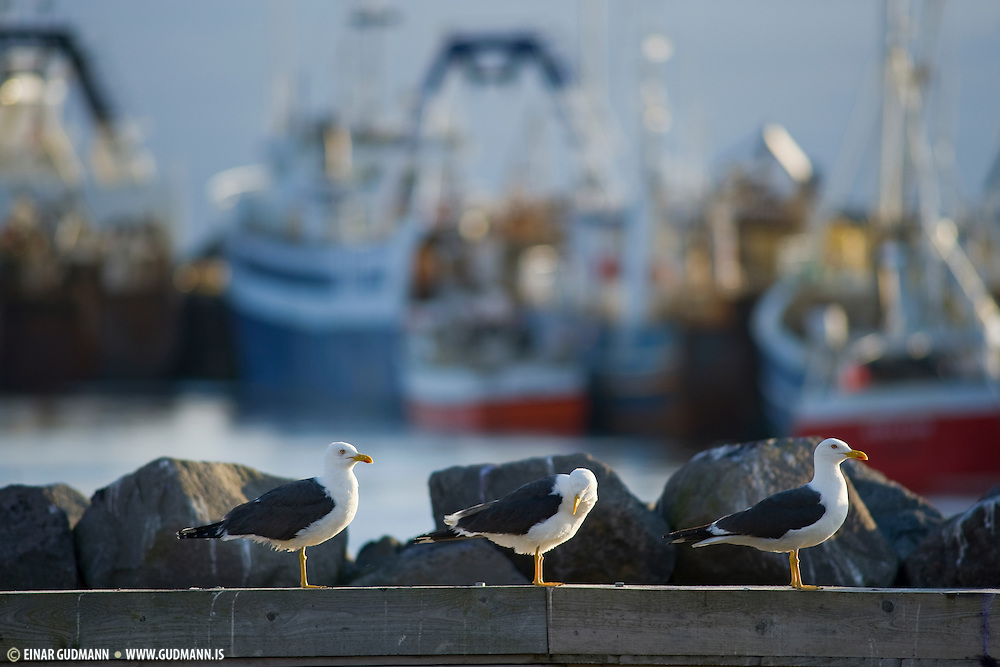 The Lesser Black-backed Gulls are omnivores like most Larus gulls, and they will eat fish, insects, crustaceans, worms, starfish, molluscs, seeds, berries, small mammals, eggs, small birds, chicks, scraps, offal and carrion.