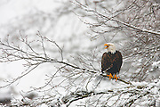 A bald eagle (Haliaeetus leucocephalus) calls out to other eagles from snow-covered trees that line the Skagit River in Washington state. Several hundred eagles spend the winter along that river, feasting on spawned out salmon.