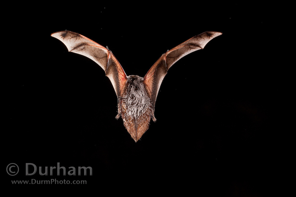Male hoary bat (Lasiurus cinereus), Photographed near the Conasauga River in the Chattahoochee National Forest, Georgia.