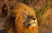 A Lion, Grumeti, Tanzania, East Africa