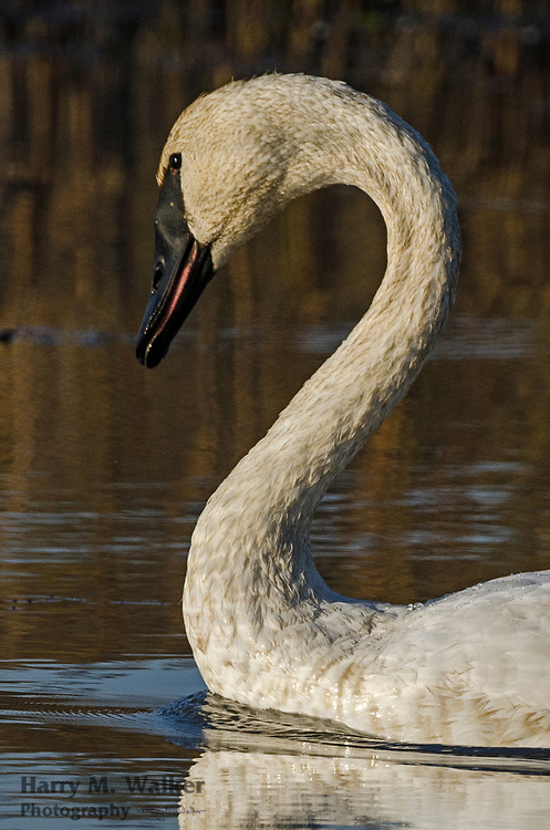 Trumpeter swan Cygnus buccinator); Potter Marsh Bird Sanctuary; part of Anchorage Coastal Wildlife Refuge; Alaska