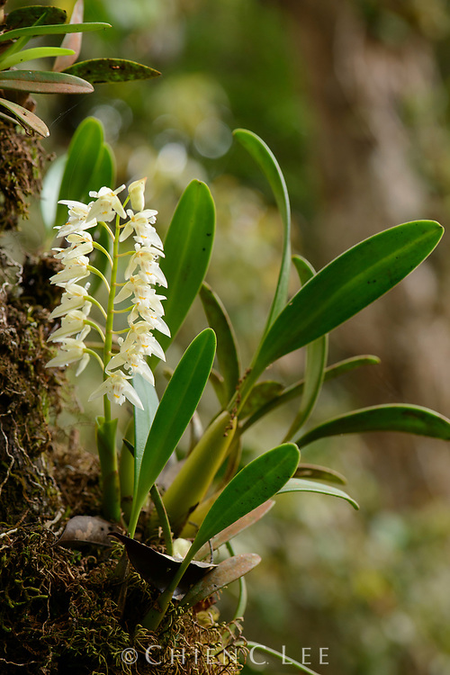 This epiphytic orchid (Chelonistele sulphurea) occurs in montane forests from Sumatra, through Malaysia and Borneo to the Philippines. The flowers are small and fragrant.