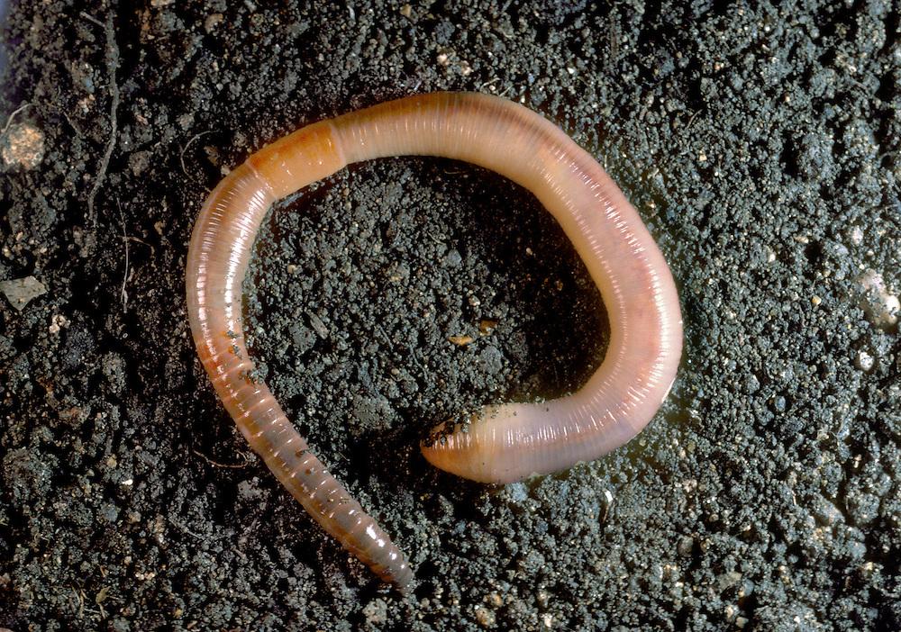 Earthworm - Lubricus terrestris