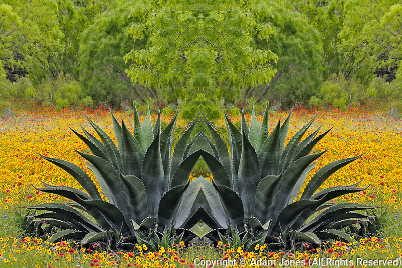 Large Agave cactus and Texas wildflowers in spring, near Corpus Christi, Texas