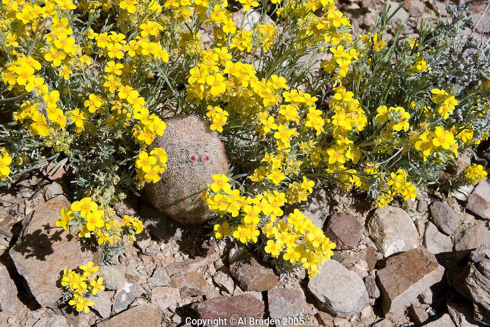 Fendler's Bladder Pod (Lesquerrella fendleri) and pincusion cactus, Van Horn, Texas.