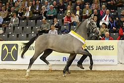 Castino - Calido<br /> Verden - Hannoveraner Hengstkörung 2013<br /> Prämienhengste und Auktion<br /> © www.sportfotos-lafrentz.de / Stefan Lafrentz