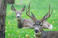 Mule Deer at the Nature Conservancy's Garden Creek site along the Snake River, Idaho.