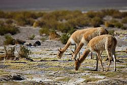 Three vicuna (Vicugna vicugna) grazing together,on the Altiplano of the Sud Lipez, Bolivia,South America