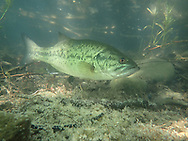 Largemouth Bass (male guarding nest with eggs)<br /> <br /> Todd Pearsons/Engbretson Underwater Photography