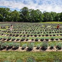 Lavender Labyrinth at Laveanne Lavender