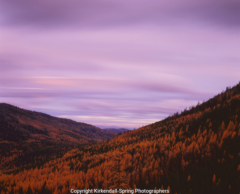 BB07647-01...WASHINGTON - Sunset over a larch forest in fall color on Scalawag Ridge near Sherman Pass in the Colville National Forest.