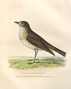 Hermit Thrush (Merula solitaria) color plate of North American birds from Fauna boreali-americana; or, The zoology of the northern parts of British America, containing descriptions of the objects of natural history collected on the late northern land expeditions under command of Capt. Sir John Franklin by Richardson, John, Sir, 1787-1865 Published 1829
