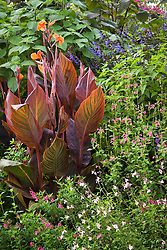 Canna 'Durban' with Salvia guaranitica 'Indigo', S. greggi 'Plum Wine' and S. microphylla var. wislizenni