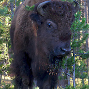 The American bison, also known as the American buffalo, is a North American species of bison that once roamed the grasslands of North America in massive herds. Because of commercial hunting and slaughter in the 19th century, the bison nearly went extinct and is today restricted to a few national parks and other reserves.