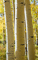 Aspen tree trunks in the La Sal mountains, Utah, USA.