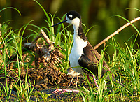 Black-necked Stilt (Himantopus mexicanus)  with chick,  Wakodahatchee Wetlands, Delray Beach, Florida, USA   Photo: Peter Llewellyn