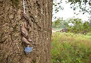 Leopard Slug mating ; Limax maximus; PA, Philadelphia, Morris Arboretum; Bloomfield Farm