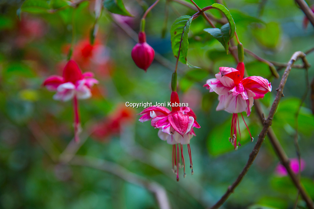 Flowers found throughout Ethiopia.