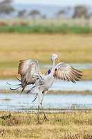 Blue Crane displaying with open wings, Overberg, Western Cape, South Africa