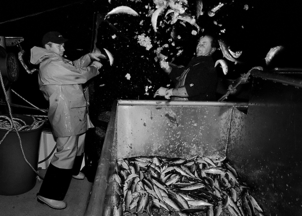 Crew of the 'Pride of Cornwall' hauling in a catch of sardines. <br /> <br /> The fishermen use a method known as purse or ring netting for catching sardines, and is similar to the seine netting used when pilchards were the mainstay of the fishing industry in Cornwall, the sardine being an immature pilchard. <br /> <br /> This is an environmentally friendly way of fishing as only one species is targeted and so there is rarely any unwanted fish caught. <br /> <br /> Fishing for sardines is best in the winter months and as stocks are plentiful in this part of the country they are unaffected by quotas. <br /> <br /> The benefits of eating this kind of fish have been widely publicised in promoting good health and so the potential for expanding the market is significant.