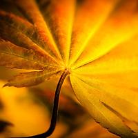 Autumn Moon Japanese Maple.