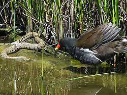 © Licensed to London News Pictures. 12/06/2014. A moorhen coming face to face with a grass snake at Riverside country park in Rainham, Kent, UK. The standoff, which lasted for roughly 15 minutes, ended with the moorhen chasing away the grass snake. The photographs were taken by photographer Paul Fouracre while he was out enjoying a days sunshine in the park. Photo credit : Paul Fouracre/LNP