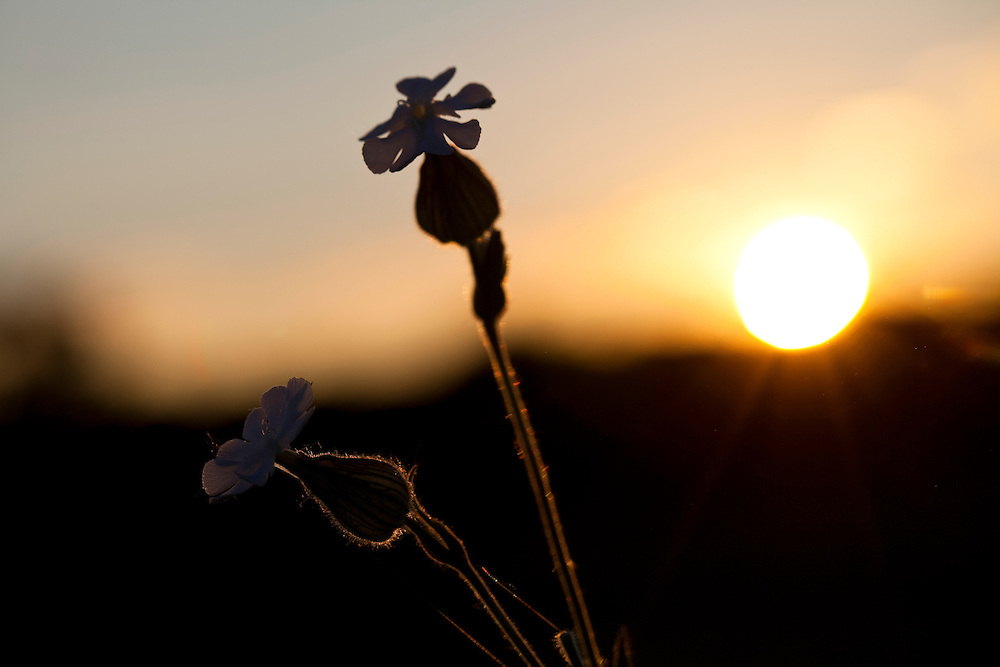 ICF_Prairie.-White Campion (Silene latifolia) at sunset. The International Crane Foundation's (ICF) mission is to conserve cranes and the ecosystems, or landscapes, on which they depend. In 1980 ICF began restoring native prairie, savanna, wetland, and woodland communities on the newly acquired 160 acre property north of Baraboo, Wisconsin.  The site now serves as an outdoor laboratory with over 100 acres of restored landscapes alongside another 60 acres of natural landscape, where the process of restoration can be explored and the lessons applied worldwide.