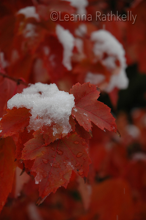 First snow falls on red maple leaves, Whistler, BC