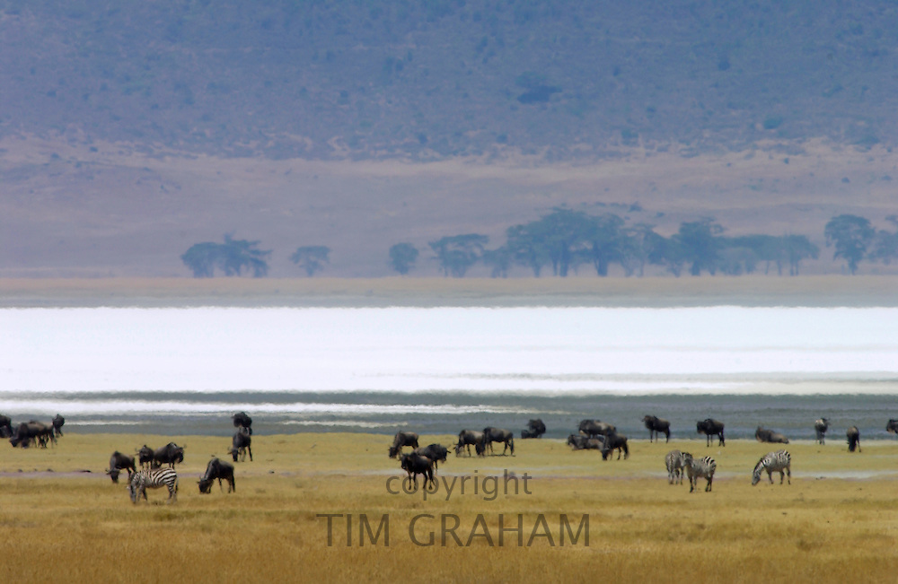 Blue Wildebeest, Ngorongoro Crater, Tanzania, East Africa