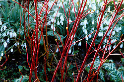 Red stems of Cornus alba 'Sibirica' with snowdrops in the background at Glen Chantry. Design: Sue and Wol Staines