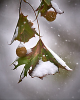 Sycamore in the Snow. Image taken with a Nikon D5 camera and 600 mm f/4 VR telephoto lens.